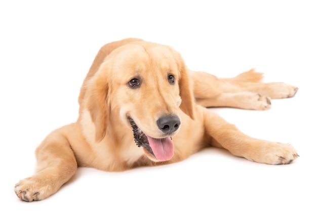 キュートでふわふわのゴールデンレトリバー犬