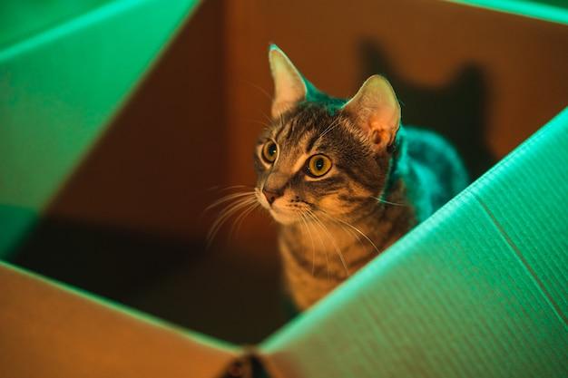 オレンジとティールのライトで照らされた箱の中のキュートでふわふわの若いストリップ猫