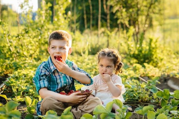 유치원 나이의 귀엽고 행복한 남동생과 자매는 화창한 여름날 정원에서 잘 익은 딸기를 모아서 먹습니다. 행복한 어린 시절. 건강하고 환경 친화적 인 작물.