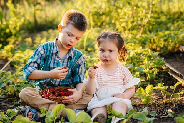 취학 연령의 귀엽고 행복한 남동생과 여동생은 화창한 여름날에 정원에서 잘 익은 딸기를 수집하고 먹습니다. 행복한 어린 시절. 건강하고 환경 친화적 인 작물.