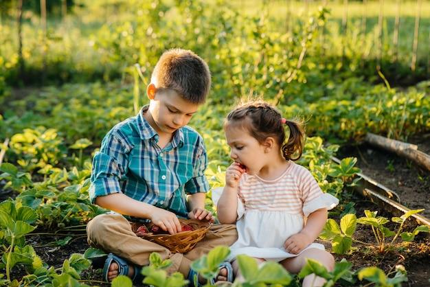 취학 연령의 귀엽고 행복한 동생과 자매는 화창한 여름날에 정원에서 잘 익은 딸기를 수집하고 먹습니다. 행복한 어린 시절. 건강하고 환경 친화적 인 작물.