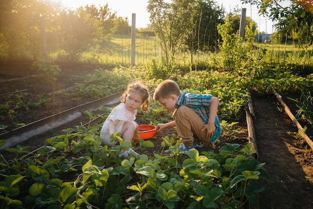 귀엽고 행복한 미취학 아동의 동생이 화창한 여름날 정원에서 잘 익은 딸기를 모아 먹는다. 행복한 어린 시절. 건강하고 환경 친화적 인 작물.