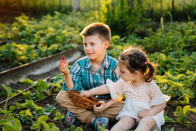 幼い頃のかわいい幸せな弟と妹は、晴れた夏の日に庭で熟したイチゴを集めて食べます。幸せな子供時代。健康的で環境にやさしい作物。