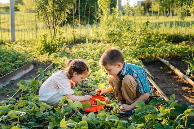귀엽고 행복한 미취학 아동의 동생과 여동생은 화창한 여름날 정원에서 잘 익은 딸기를 모아서 먹습니다. 행복한 어린 시절. 건강하고 환경 친화적 인 작물.