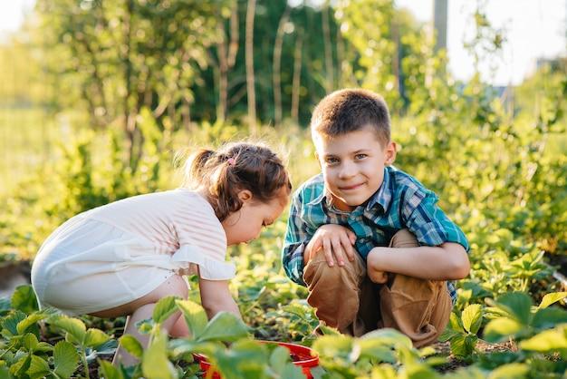 可愛くて幸せな幼い頃の弟と妹は、晴れた夏の日に庭で熟したイチゴを集めて食べます。幸せな子供時代。健康的で環境にやさしい作物。