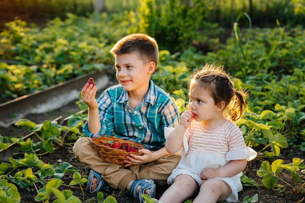 幼稚園時代の可愛くて幸せな弟と妹は、晴れた夏の日に庭で熟したイチゴを集めて食べます。幸せな子供時代。健康的で環境に優しい作物。