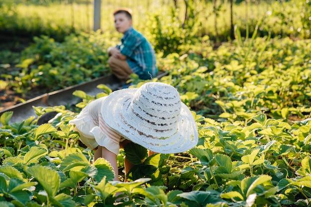 귀엽고 행복한 미취학 아동의 동생과 여동생은 화창한 여름날 정원에서 잘 익은 딸기를 모아서 먹습니다. 행복한 어린 시절