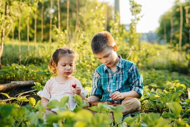 유치원 나이의 귀엽고 행복한 남동생과 자매는 화창한 여름날 정원에서 잘 익은 딸기를 모아서 먹습니다. 행복한 어린 시절