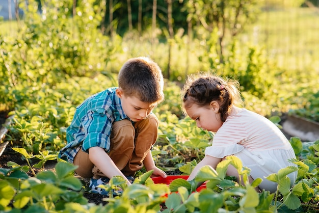 귀엽고 행복한 취학 전 남매는 화창한 여름날 정원에서 잘 익은 딸기를 모아서 먹습니다.