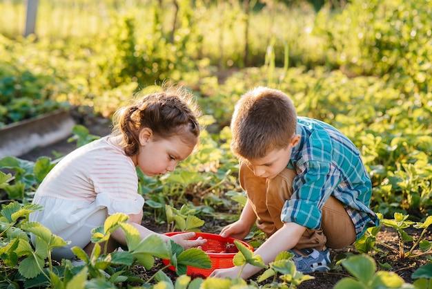 귀엽고 행복한 미취학 아동의 동생과 여동생은 화창한 여름날 정원에서 잘 익은 딸기를 모아서 먹습니다.
