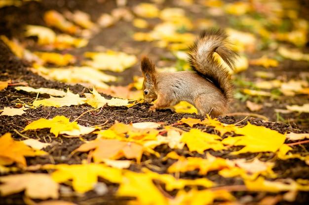 秋のシーンで栗を食べているかわいいとお腹が空いたリス。秋のリス、落ち葉のある黄色い公園、