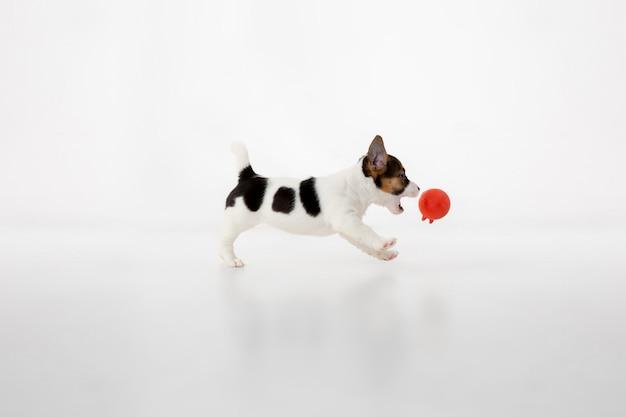 회색 배경에 쾌활한 포즈를 취하는 귀엽고 작은 강아지
