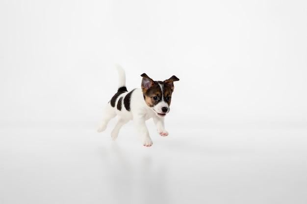 회색에 쾌활한 포즈를 취하는 귀엽고 작은 강아지