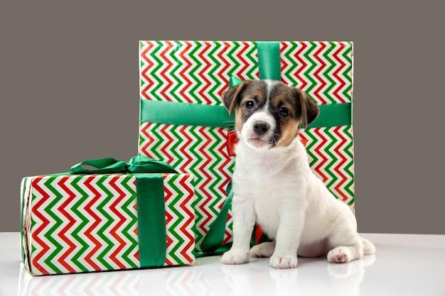 Симпатичная и маленькая собачка позирует веселой, изолированной на сером