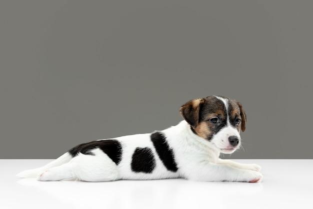 灰色で隔離された陽気なポーズのかわいいと小さな犬
