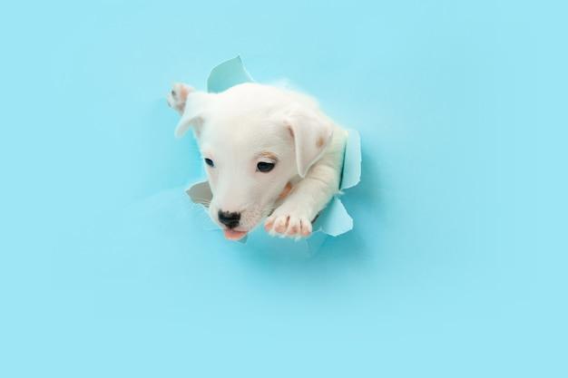 キュートで小さな犬のランニングの画期的な青いスタジオの背景は、意図的でインスピレーションを得て、注意を払っています。動き、行動、動き、目標、ペットの愛の概念。喜んで、おかしいように見えます。広告のコピースペース。