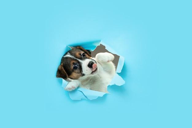 혁신적 블루 스튜디오 배경을 실행하는 귀엽고 작은 강아지