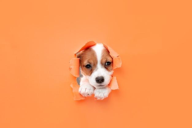かわいくて小さな犬のランニングの画期的なオレンジ色のスタジオの背景は、意図的でインスピレーションを得て、注意を払っています。動き、行動、動き、目標、ペットの愛の概念。喜んで、おかしいように見えます。広告のコピースペース。