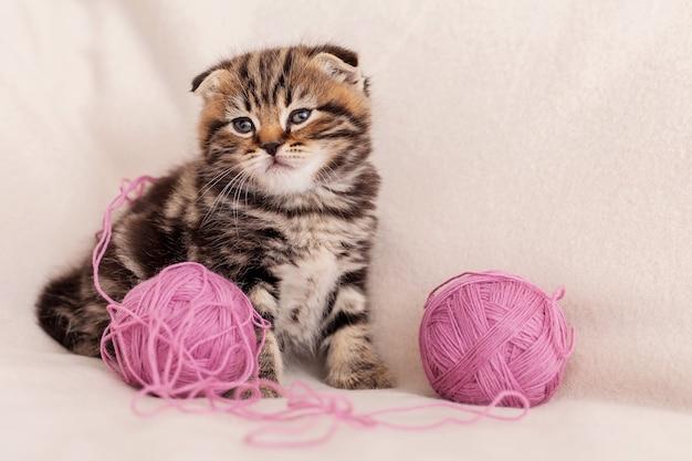 Симпатичный и игривый. милый маленький шотландский вислоухий котенок смотрит в сторону, сидя возле спутанной шерсти
