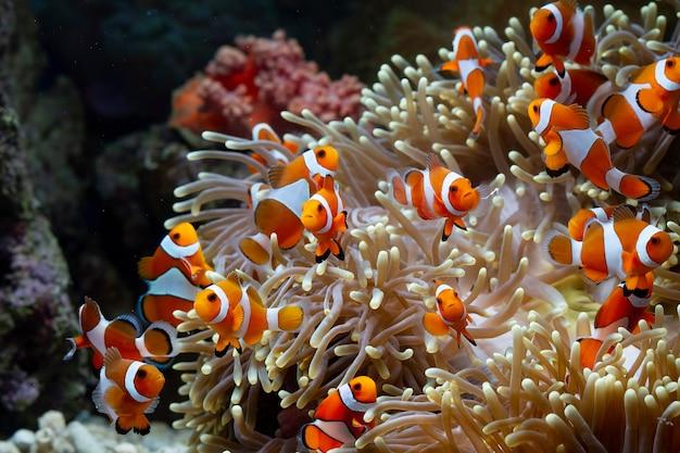 Симпатичные рыбы анемона, играющие на коралловом рифе