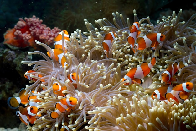サンゴ礁で遊ぶかわいいクマノミ