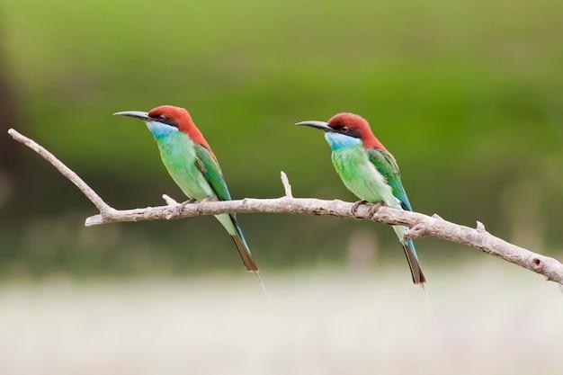 Cute animal world,bee-eate bird ( blue throated bee eater)