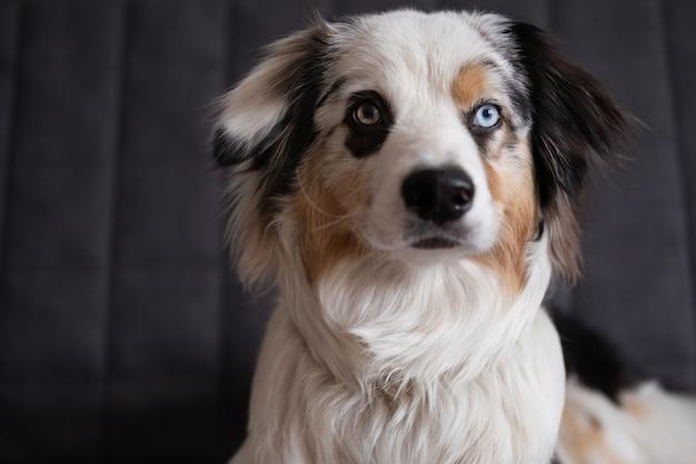 かわいいオーストラリアンシェパードの青いメルル犬。異なる色の目。ペットフレンドリーでケアのコンセプト。