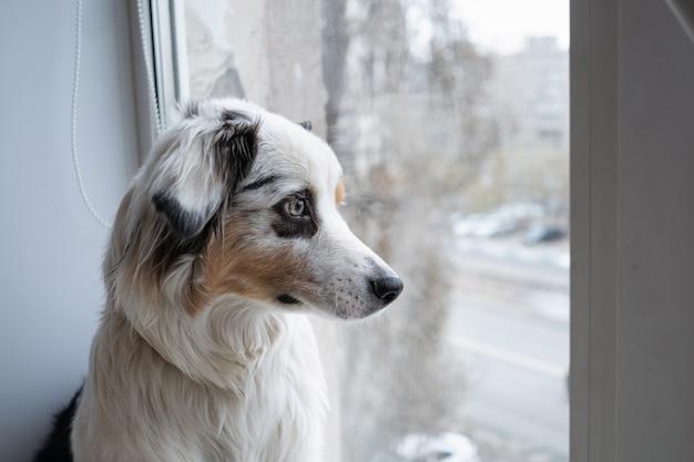 かわいいオーストラリアンシェパードの青いメルル犬が窓枠に直面
