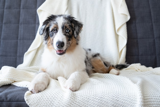 Cute australian shepherd blue merle puppy dog. different colours eyes. on white plaid. pet warms on a blanket in cold winter weather. pets  care concept.
