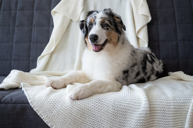 Cute australian shepherd blue merle puppy dog. different colours eyes. under white plaid. pet warms under a blanket in cold winter weather. pets care concept.