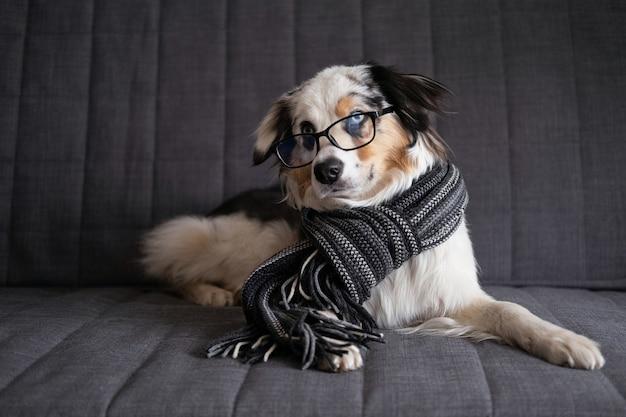 Cute australian shepherd blue merle puppy dog wearing striped scarf, glasses. winter, autumn cozy mood. education concept.