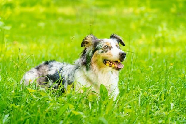Милая австралийская овчарка с высунутым языком, лежа в зеленой траве