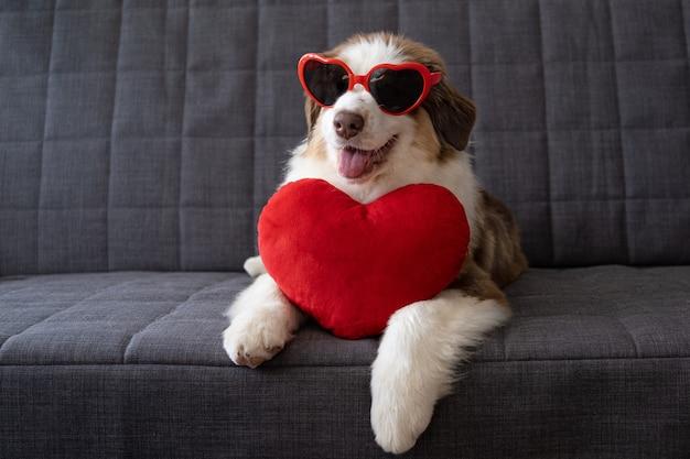 ハートグラスに大きなハートを持つかわいいオーストラリアンシェパードの赤い3色の子犬犬。バレンタインデー。ソファの上。