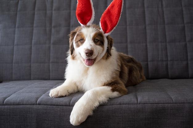 かわいいオーストラリアンシェパードの赤い3色の子犬の犬がバニーの耳をかぶっています。イースター。ソファに横になっています。イースター、おめでとう。