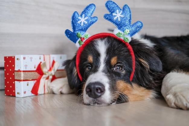 귀여운 호주 양치기 3색 강아지가 사슴뿔 테두리에 있고 크리스마스 선물이 바닥에 누워 있습니다. 메리 크리스마스. 새해 복 많이 받으세요.