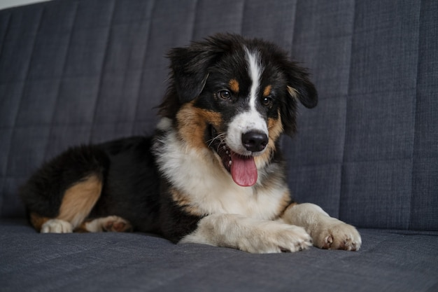 귀여운 호주 셰퍼드 3색 강아지가 소파에 누워 있습니다. 카메라를 찾고 있습니다. 추운 겨울 날씨에 애완 동물이 따뜻해집니다. 애완 동물 친절하고 보살핌 개념.