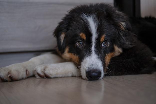 귀여운 호주 셰퍼드 3색 강아지가 바닥에 누워 있습니다. 헌신적인 눈. 카메라를 찾고 있습니다. 애완 동물 친절하고 보살핌 개념.
