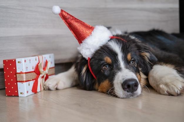 귀여운 호주 셰퍼드 3색 강아지가 산타 모자에 크리스마스 선물을 들고 바닥에 누워 있습니다. 메리 크리스마스. 새해 복 많이 받으세요.