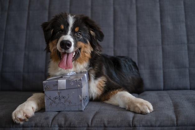 귀여운 호주 셰퍼드 3색 강아지 크리스마스 선물이 소파에 누워 있습니다. 메리 크리스마스. 새해 복 많이 받으세요.