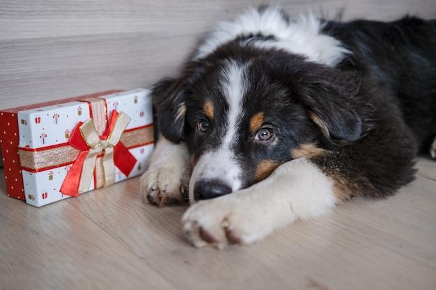 귀여운 호주 셰퍼드 3색 강아지가 크리스마스 선물을 들고 바닥에 누워 있습니다. 메리 크리스마스. 새해 복 많이 받으세요.