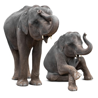 Cute baby asian elephant in various action isolated on white  with clipping path