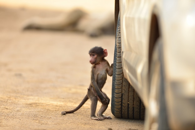 Cute baby baboon by a car tire on a gravel road