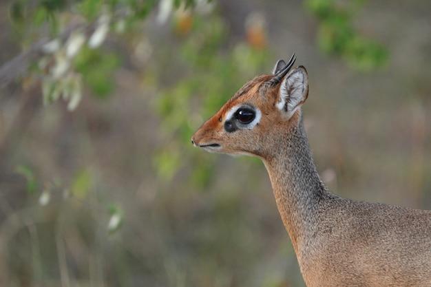 アフリカのジャングルでかわいい赤ちゃん鹿