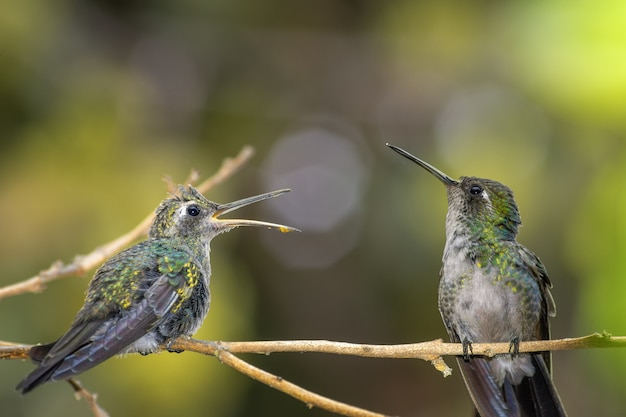 Cute baby hummingbird on a branch in sunny woods, waiting with open mouth for mother to feed it
