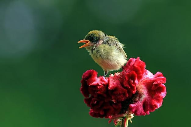 Cute baby kemande bird dicaeum trochileum