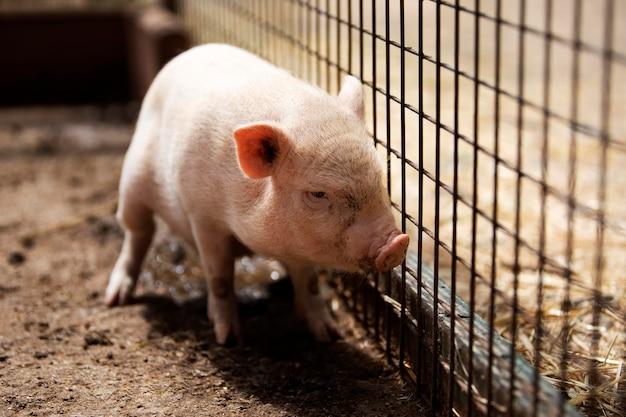 農場でかわいい子豚