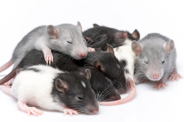 Cute baby rats