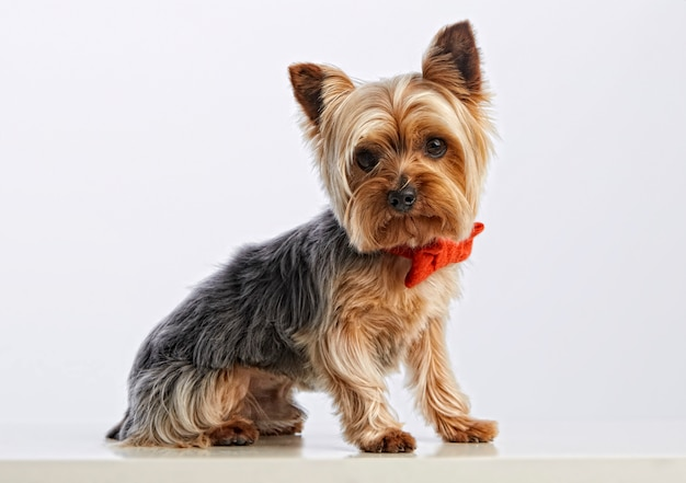 Cute baby yorkshire terrier (purebred dog)
