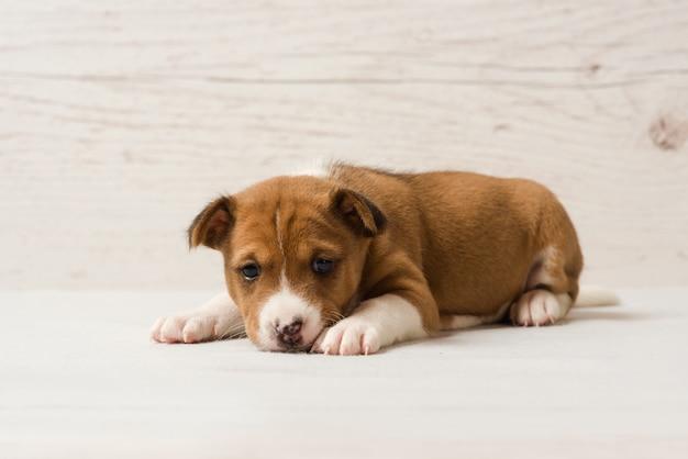 귀여운 basenji 갈색 강아지