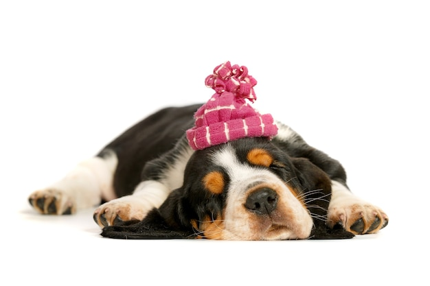모자에 귀여운 바셋 하운드 강아지.